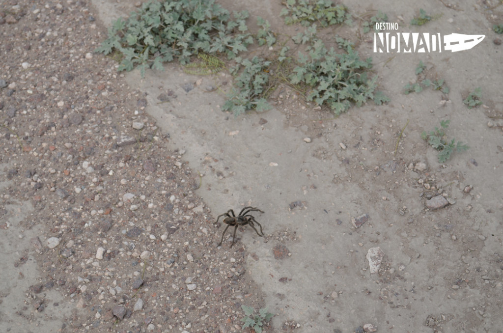 Lihue calel tarantula