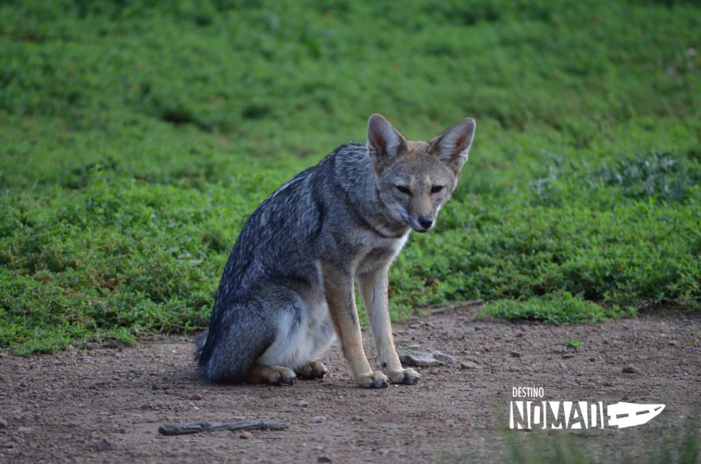 Lihue calel zorro gris