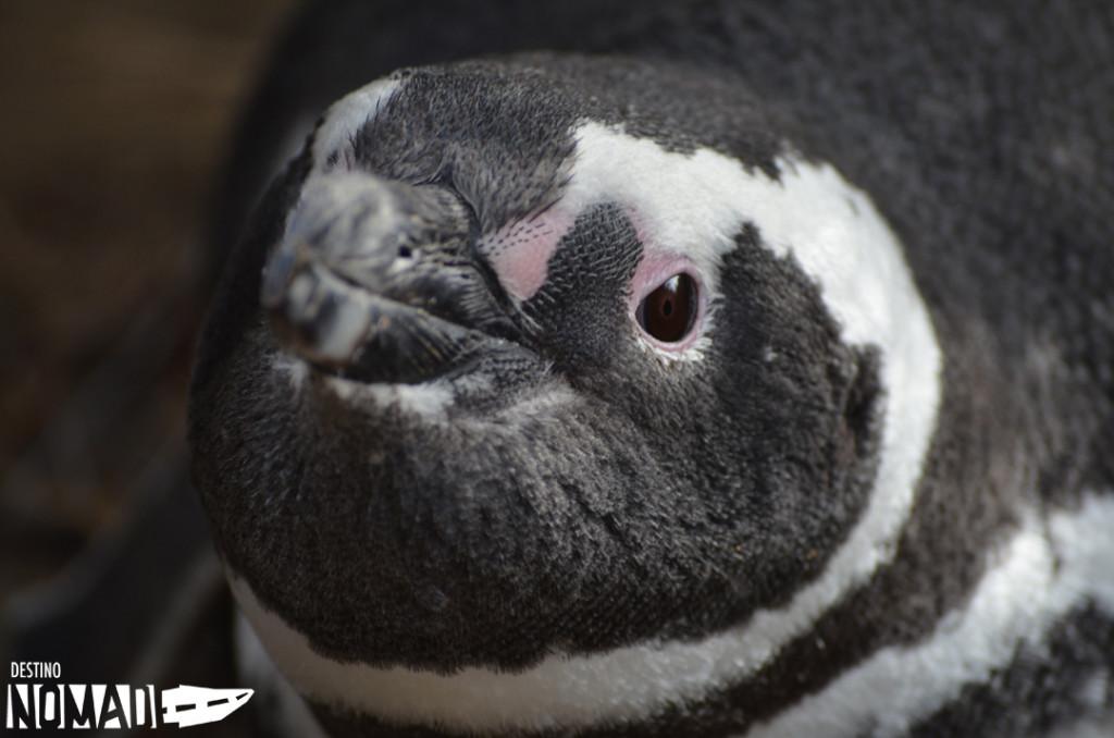 pinguino magallanico, piedrabuena