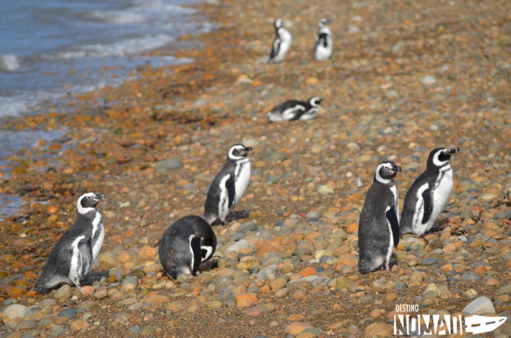 piedrabuena-pinguinos