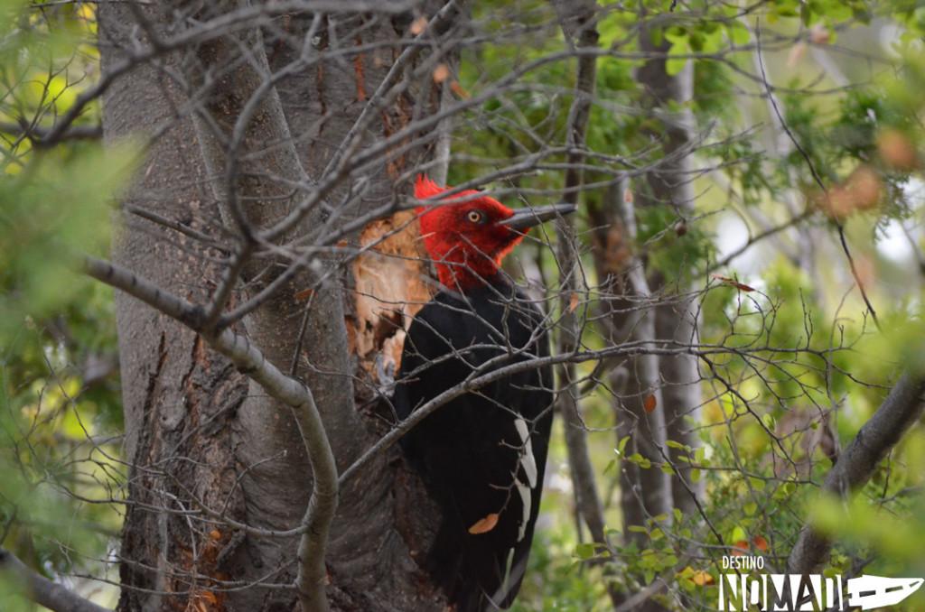 Pájaro carpintero, PN Los Alerces