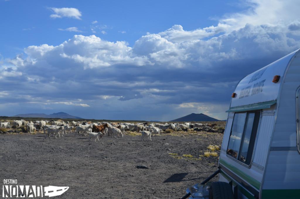 Cabras, PN Laguna Blanca