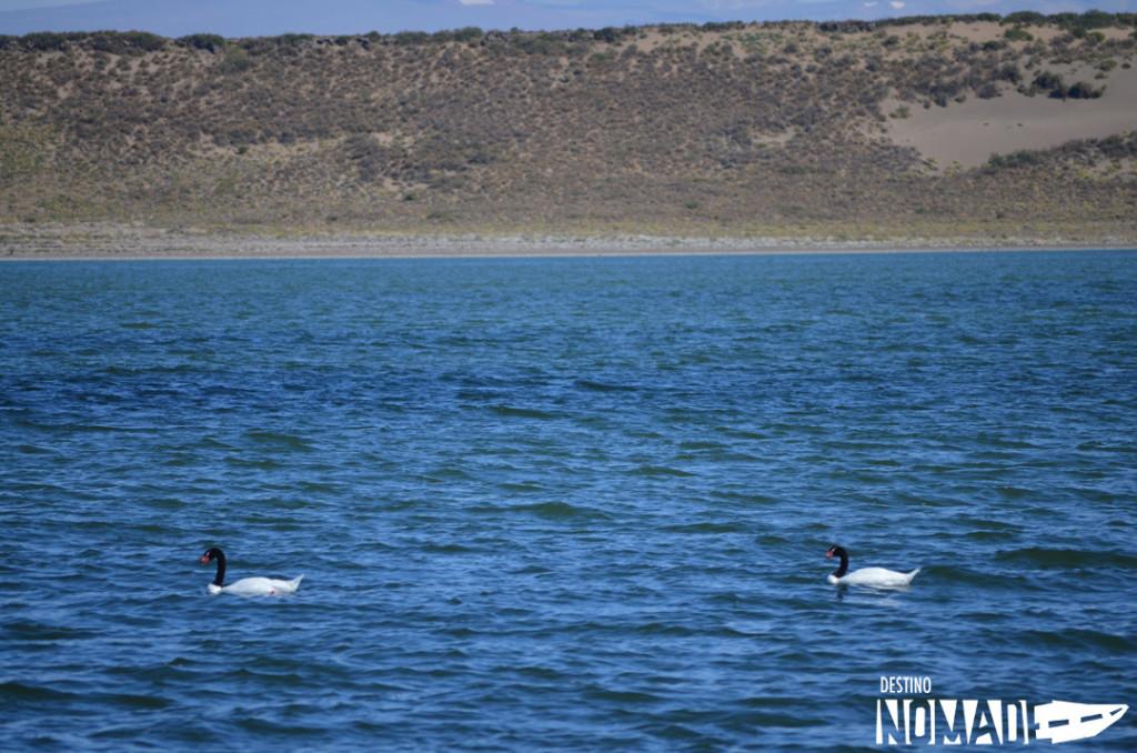 Cisnes de cuello negro, PN Laguna Blanca