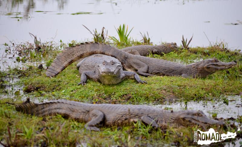 Yacarés en los Esteros del Iberá