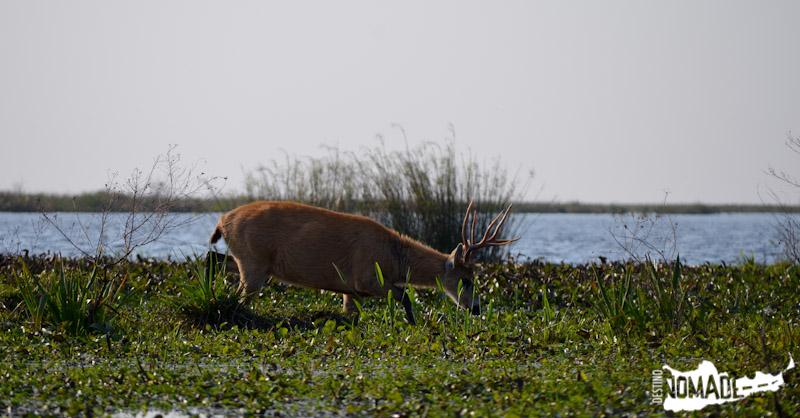 Ciervo de los pantanos, Esteros del Iberá