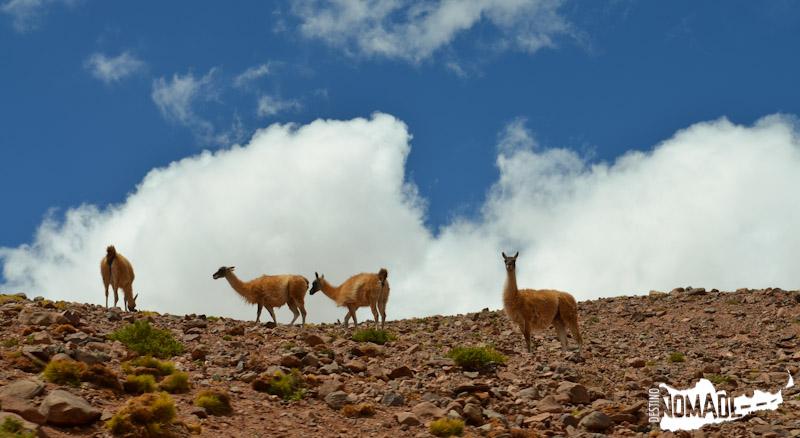 Vicuñas y guanacos camino a la Laguna Brava