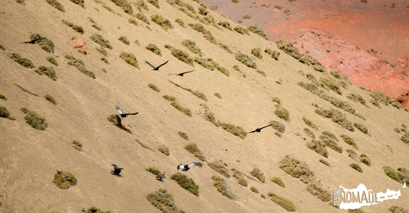 Cóndores camino a la Laguna Brava