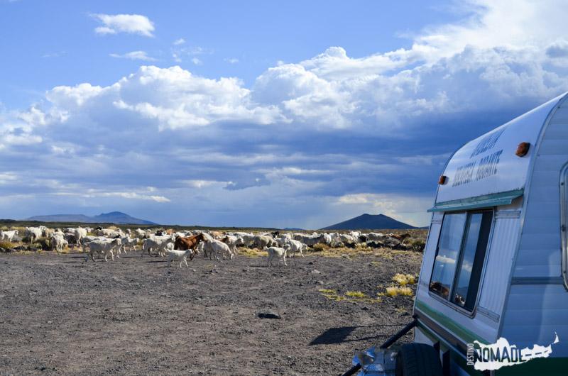 Rebaños que se acercaban al PN Laguna Blanca (Prov. del Neuquén) para pastar